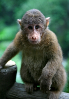 鹅眉山猕猴图片