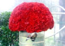 康乃馨花卉图片