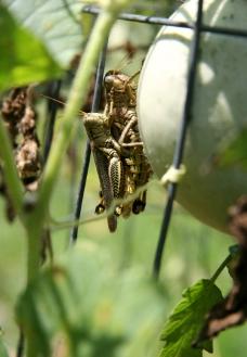 蚂蚱蝗虫图片