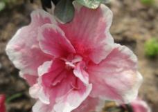 杜鵑花圖片