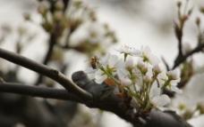 蜜蜂采梨圖片