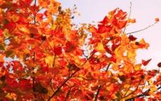 红色枫树叶图片
