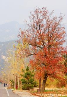 秋天枫树红叶图片