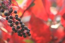 红叶 红果图片