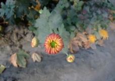 橙色菊花花苞图片