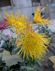 金黄色菊花图片
