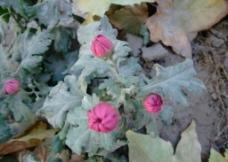 粉色菊花花苞图片