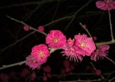 梅花吐蕊图片