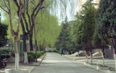 校园柳树下图片