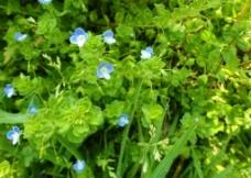 蓝色花图片