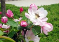 花朵上的小蜜蜂图片