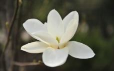 白玉兰图片