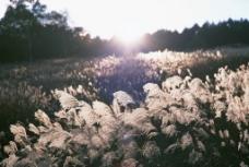 浪漫芦苇风景图片