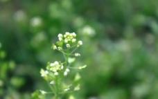 白菜小花图片