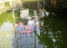 金鱼池塘图片