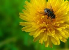 蜜蜂昆虫图片