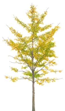 植物素材 银杏图片