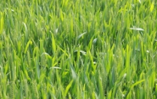 绿色小麦图片