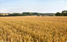 小麦 麦田图片