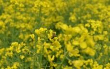 油菜花 蜜蜂 采蜜图片