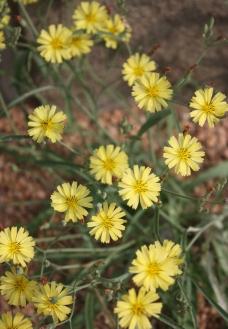 花卉 摄影 黄花 小花图片