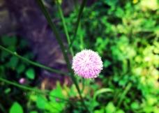 野蒲公英 花图片
