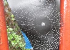 雨后的蜘蛛网图片