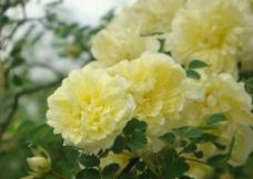 黄色蔷薇图片