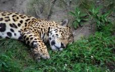 美洲豹图片