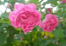 雨后蔷薇图片