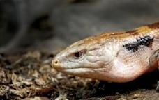 野生毒蛇头部特写图片