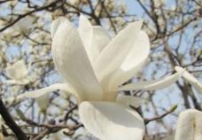 白玉兰花图片