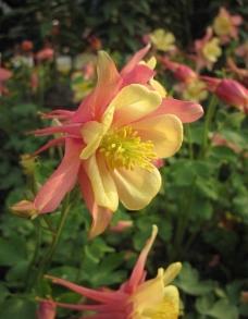 黄花摄影图图片