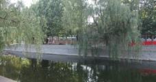 南开大学 小引河垂柳图片