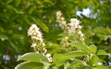 白千层树花图片