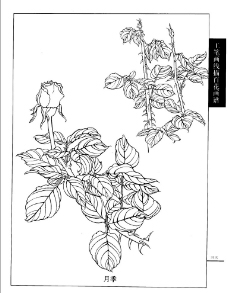 工笔画线描百花画谱 月季图片