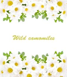 白色菊花背景图片