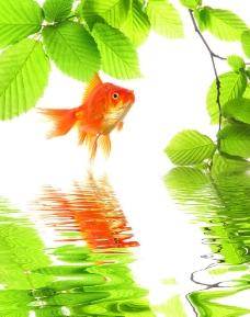 绿叶湖水金鱼图片