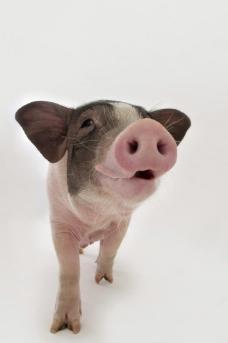 动物世界配猪