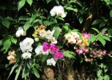 兰花 蝴蝶兰图片
