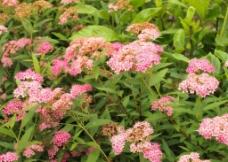 粉花绣线菊图片