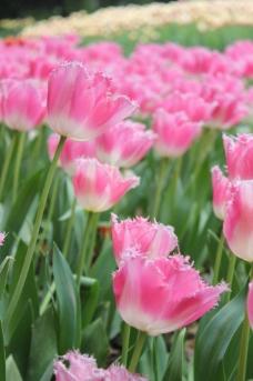 粉色郁金香图片