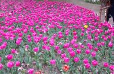 品红色郁金香图片
